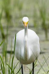 Great Egret (bakosmike) Tags: great egret bird heron nikon d7200 sigma 150600mm contemporary wildlife animal nature safari niagara