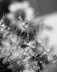 ... (annamariagiacomini) Tags: macro soffione gocce riflessoconfiori biancoenero
