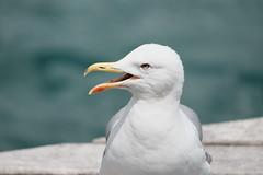 No shade to be found (tomivek) Tags: barcelona barceloneta seagull sunny sea