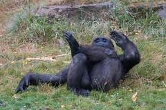 DSC00586 (sylviagreve) Tags: 2017 apenheul gorilla apeldoorn gelderland netherlands nl