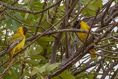 black-headed oriole, adult (r), juvenile (l) (greenjay2) Tags: blackheadedoriole