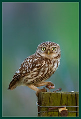 Twilight magic (hvhe1) Tags: bird nature netherlands animal twilight bravo searchthebest wildlife interestingness1 raptor owl prey birdofprey littleowl athenenoctua tonden steenuil specanimal hvhe1 hennievanheerden avianexcellence