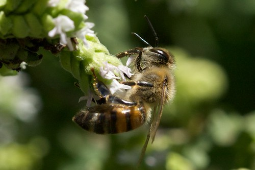 Bee on Oregano