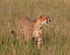 Pregnant female cheetah I (jensvins) Tags: africa wild nature animal female kenya pregnant cheetah masaimara acinonyxjubatusraineyii