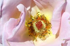 """""""...Car je ne puis trouver parmi ces ples roses, une fleur qui ressemble  mon rouge idal."""" (_Pek_) Tags: rosa poesia lesfleursdumal ifioridelmale charlesbaudelairelideale"""