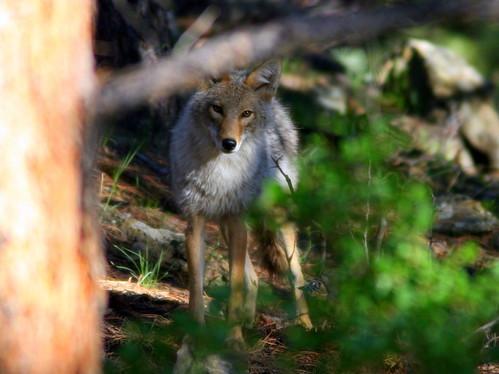 Coyote 2-20100615