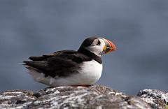 Puffin (Cath Scott) Tags: sea bird nature scotland wildlife may forth puffin isle seabird firth wld qpcc