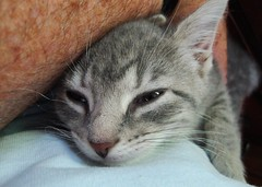 Millie 12 June 2010 1883b 5x7 (edgarandron - Busy!) Tags: cats cute cat kitten feline tabby kitty kittens kitties millie dilutetabby