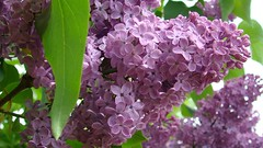 | Lilac flower | (<ZOLEE/>) Tags: summer flower macro nature amazing purple lilac h7 ilovemypic