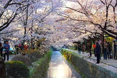 In full bloom... Philosopher's Walk Kyoto Japan (Hopeisland) Tags: pink trees plant tree nature japan cherry spring kyoto walk blossoms april sakura cherryblossoms colourful soe waterway 2010 philosophers philosopherswalk      4   colorphotoaward     4tografie