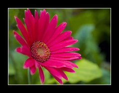 Pink Gerbera (flickonce) Tags: pink summer flores flower color nature closeup happy natureza blossoms gerbera jardim lonely solitary hotpink pinkdaisy pinkgerbera rosachoque flowersandcolors flickonce silviagerberphotography