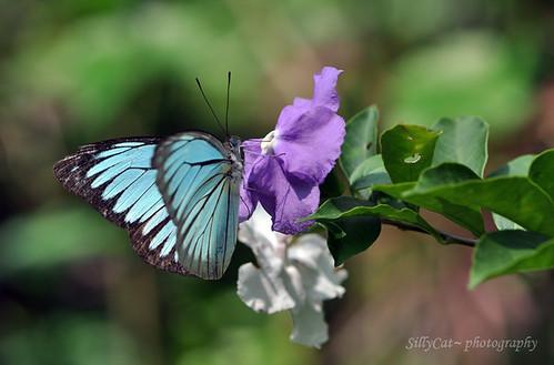 Wanderer(Pareronia valeria lutescens)