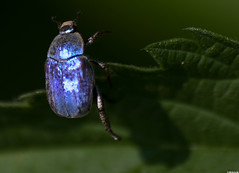Hoplie bleue (Hoplia caerulea) (Le No) Tags: 09 insecte ariège midipyrénées scarabaeidae coléoptère mazères hopliebleue hopliacoerulea hopliacaerulea collectionnerlevivantautrement domainedesoiseaux