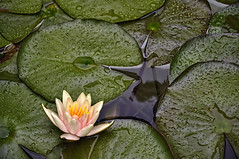 182/365 (Sharon LuVisi) Tags: flower waterlily lily lilypad lilypond fadedblurred3652010