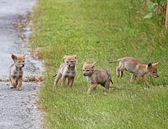 Running Amok (Peggy Collins) Tags: coyote canada interestingness britishcolumbia explore pacificnorthwest pup sunshinecoast urbananimals amok wildanimals groupofanimals herecomestrouble coyotepup runningamok animalsplaying abigfave animalsrunning peggycollins groupofcoyotes
