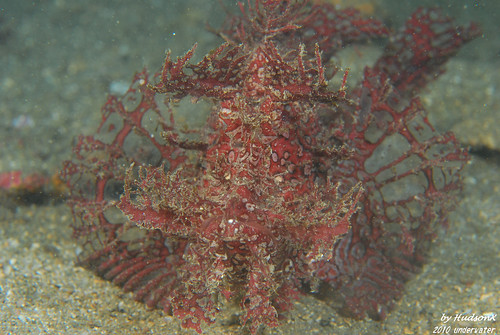 龍王鮋-Weedy Scorpionfish(4)