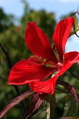 Scarlet rosemallow - Hibiscus coccineus - Malvaceae - Origin SE USA (fotoproze) Tags: flowers canada flores fleurs quebec montreal blumen fiori 花 blommor bungabunga bloemen blomster kwiaty hoa 2010 פרחים flors loreak blóm çiçek blodau گل 꽃 flori λουλούδια jardinbotaniquedemontreal květiny цветки waterflowers 花卉 цветы virágok kvety kukat cvijeće montrealbotanicalgardens ดอกไม้ cvetje 水花 waterbloemen mixedflowers цветя फूल цвеће wasserblumen bláthanna flowersarebeautiful excellentsflowers exquisiteflowers mimamorflowers flickrflorescloseupmacros photosandcalenda پھول fleursdeleau λουλούδιανερού fioridellacqua 水は開花する 물은꽃이핀다 floresdaágua цветкиводы floresdelagua hibiscuswonder flowersالزهور bungabungablomster