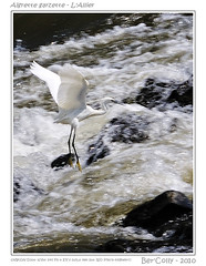 Aigrette Garzette - Allier (BerColly) Tags: france birds river google flickr riviere allier auvergne oiseaux puydedome aigrette garzette bercolly
