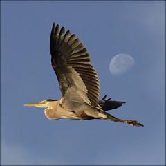 Majestic flight (NaPix -- (Time out)) Tags: blue moon lake canada bird heron nature bigbird action great flight majestic jumbojet b52 napix