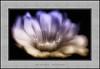 Afrodita (Jose Luis Mieza Photography) Tags: flowers flores flower fleur fleurs flor benquerencia florews reinante jlmieza reinanteelpintordefuego joseluismieza