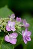 "Flower, Hydrangea ""Yae-Gaku-Ajisai"" (nekonomania) Tags: hydrangea アジサイ reddishpurple kyotobotanicalgarden 京都府立植物園"