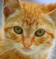 un dolce sconosciuto... (ROSSANA76 Getty Images Contributor) Tags: warm soft peaceful occhi rosso gatto bianco ritratto domestico animale viso arancione naso welcoming micio muso verdi bello sconosciuto faccia bellissimo stupendo baffi faccino