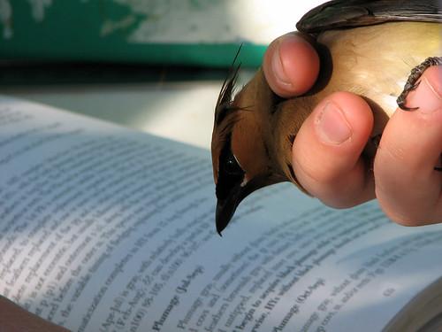 Cedar Waxwing reads Pyle