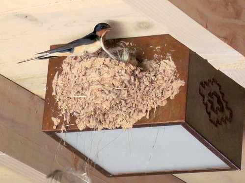 Ghost Ranch Barn Swallow 20100619