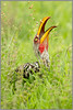Dinner Bill (hvhe1) Tags: africa bird nature animal yellow southafrica spider bill bravo searchthebest wildlife prey mala hornbill yellowbilledhornbill malamala neushoornvogel specanimal hvhe1 hennievanheerden avianexcellence rattrays