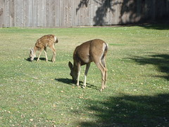 Deers taking advantage of the landscaping (radargeek) Tags: california ca deer fawn pacificgrove elcarmelocemetery