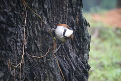 White Crested Laughing Thrush (Garrulax leucolophus)
