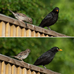 "187/365 ""I was here first""............""Bully!"" (jovni) Tags: bird fence sparrow blackbird project365 d80 birdbokeh"