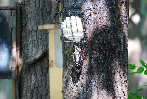 Meet a naturalist: downy woodpecker