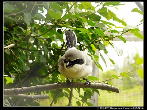 Eastern Loggerhead Shrike (Lanius ludovicianus migrans) adult