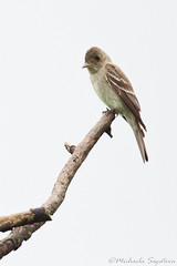 Eastern Wood-Pewee (~ Michaela Sagatova ~) Tags: bird nature perched flycatcher easternwoodpewee contopusvirens michaelasagatova