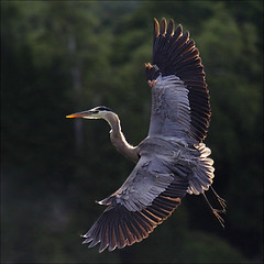 Spread your wings (NaPix -- (Time out)) Tags: morning blue lake canada bird heron nature sunrise bigbird wings action wildlife great flight majestic specanimal napix bestcapturesaoi