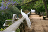 White Beauty (✿ Graça Vargas ✿) Tags: white bird peacock explore mv 81 whitepeacock interestingness94 i500 graçavargas canoneos400d ©2010graçavargasallrightsreserved 105444300813