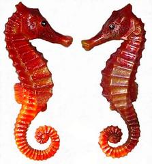 Denizati SeaHorse (cabada1) Tags: denizatı denizati