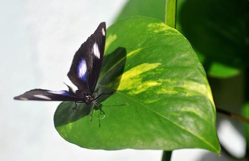 The great Eggfly(Hapolimnas bolina)幻紫斑蛺蝶