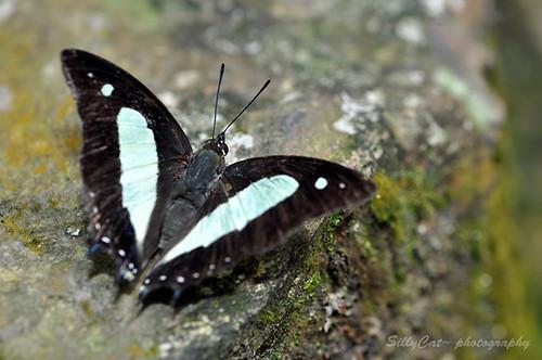 Common Nawab (Polyura athamas athamas)窄斑鳳尾蛺蝶