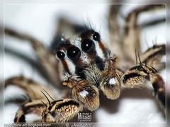 Je vous fais peur? ... I scare you? ... Ich erschrecke Sie? ... Yo le espanto ... La spavento ...   (Rached MILADI - ) Tags: macro nature animals insect spider photo flickr panasonic spinne araa animaux hdr tunisie insecte tunisien araigne toile faune  cologie dcr250 raynox   modemacro   miladi thebestofday  gnneniyisi rachedmiladi  dcr250raynox fz38 fz35 dmcfz38 lumixfz38 macrofz38