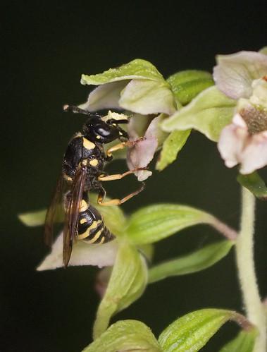 Pollinisateur orchidées 4786859410_972e9e1457