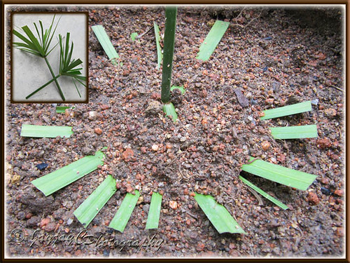 Propagating Cyperus involucratus (Umbrella Plant, Dwarf Papyrus Grass) by inverting tip cutting in potting soil - shot May 17 2010