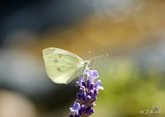 Großer Kohlweißling / Large White (10) (Ellenore56) Tags: life light summer white inspiration color colour nature animal butterfly garden insect licht loop sommer sony natur lavender july philosophy cycle physics environment imagination mathematics juli alpha economic creature magical farbe insekt garten chaostheory leben tier ecological umwelt lavendel largewhite butterflyeffect pierisbrassicae lebewesen disambiguation turbulenzen kohlweisling schmetterlingseffekt chaostheorie groserkohlweisling dslra350 sonyalphadslra350 philosofi ellenore56 13072010 dynamicl