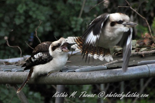 Attack Kookaburra