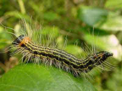 Yellow-necked caterpillar