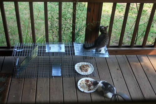 A fluffly long-haired tabby and white kitten stands on the wired-open door of a Havahart trap, while a grey and white kitten eats next to it.