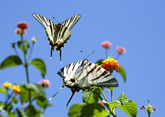 (esther**) Tags: pink flowers blue summer sky green colors butterfly greece rhodes