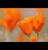 Poppy's (camerainhand/Larry Boswell) Tags: nikon thepinnaclehof tphofweek97