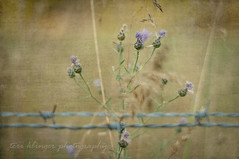trapped beauty ([tklinger]) Tags: summer texture fence weed purple barbedwire klingers fencefriday